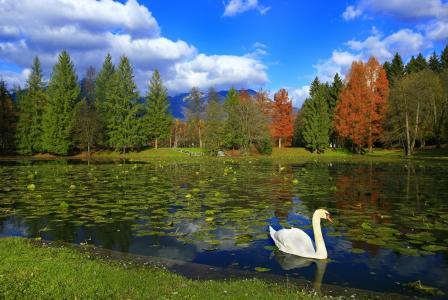 湖,公园,树木,天鹅