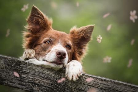 动物,狗,狗,头,脸,看,板,鲜花