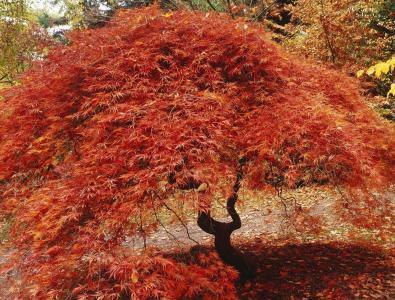 日本枫树,叶子,红色,秋天
