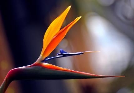 花,热带,天堂鸟,鹤望兰,鹤望兰,非洲,花瓣,性质