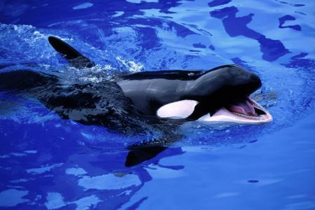 鲸鱼,鲸鱼,水,虎鲸,海