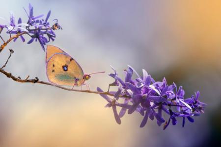 埃莉奥诺拉迪普里莫,宏,分支机构,花卉,蝴蝶