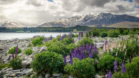新西兰,山,景观,性质,鲜花