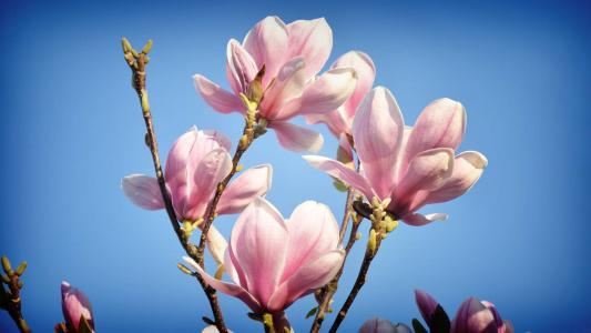 玉兰,鲜花,树,美丽,粉红色,天空