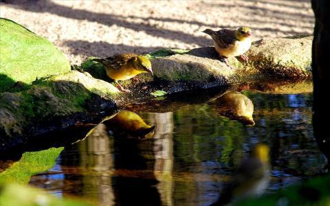 小面包屑,喝水,鸟类