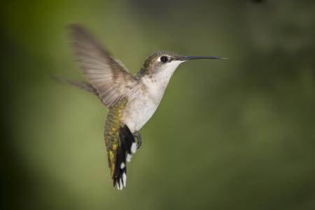 喙,翅膀,蜂鸟