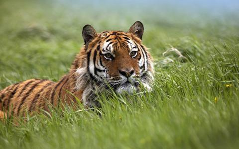 田地,母老虎,老虎,母老虎,草原,野猫,田野