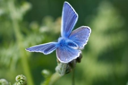 蝴蝶,毛茸茸,蓝色