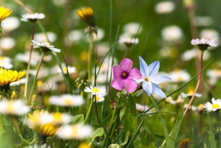 洋甘菊,夏天,植物,鲜花,绿色,草,林间空地