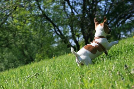 草,杰克罗素梗,狗,欢喜,奔跑