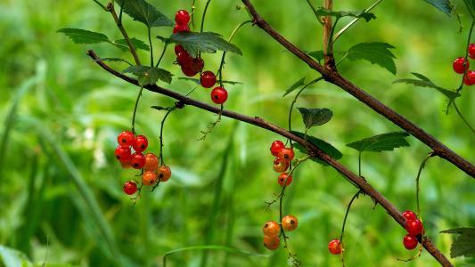 醋栗,红色,夏天