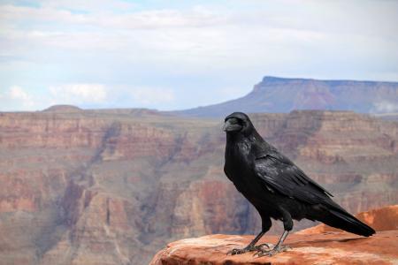 乌鸦,鸟,峡谷