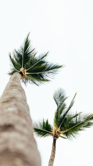 高高的棕榈树