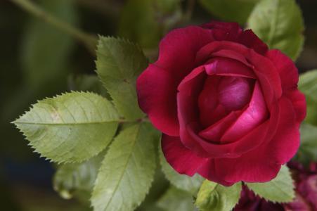 叶子,玫瑰,花瓣,花,红色