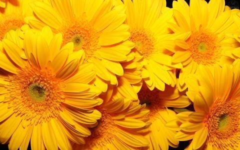 向日葵,大黄色的花朵,五颜六色