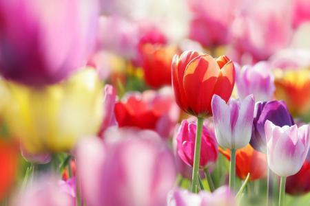 鲜花,郁金香,芽,春天
