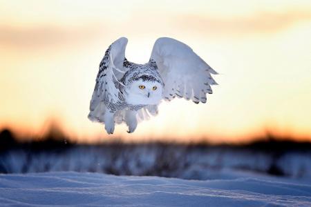 猫头鹰,雪,飞行,冬天