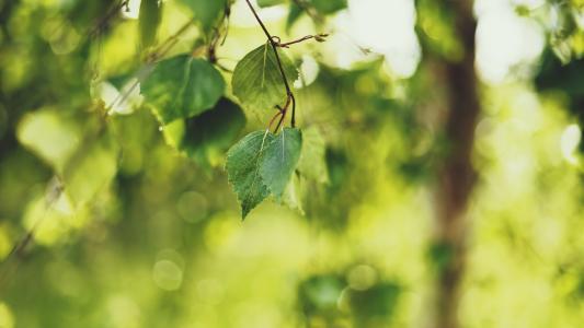 桦木,夏天