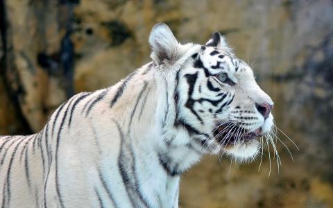 白虎,白色,捕食者,老虎,枪口