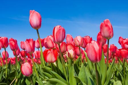 郁金香,芽,花,春天,天空,郁金香