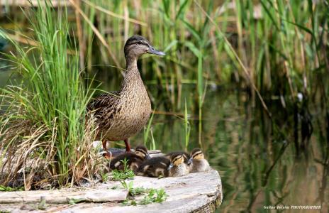 鸭,雏鸭,母亲,后卫,休息,湖,芦苇