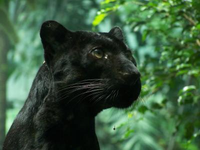 黑豹,野猫,叶子