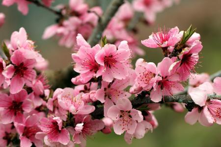 春天,树,鲜花,苹果,分支机构,性质,粉红色