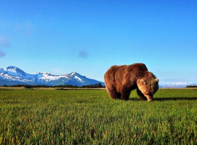 熊,棕色,捕食者