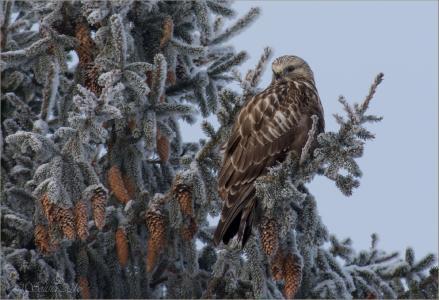 云杉,视锥细胞,冬天,月光石秃鹰,莫斯科郊区,照片,安娜Golubeva
