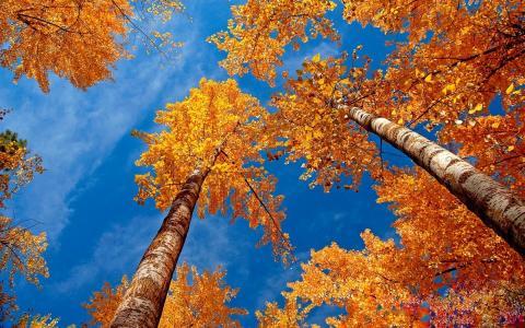 仰望,桦树,黄叶
