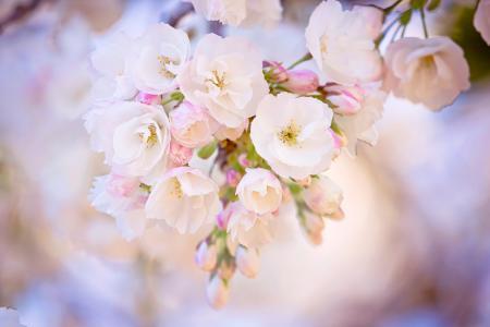樱花,鲜花,分支机构,春天,宏,美丽,白色背景