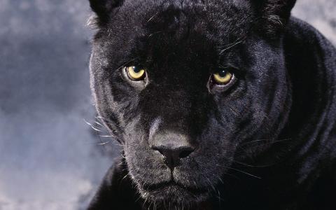 动物,豹,大猫