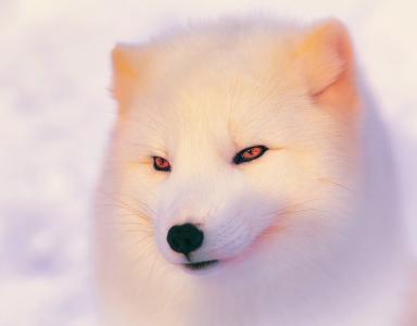 极地狐狸,极地狐狸,光线,冬天