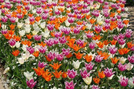 鲜花,郁金香,霜降
