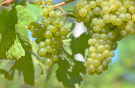 葡萄,束,叶子,藤,美味,美丽