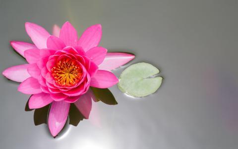花,粉红色,睡莲,叶,池塘,莲花