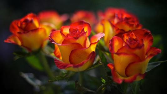 鲜花,玫瑰