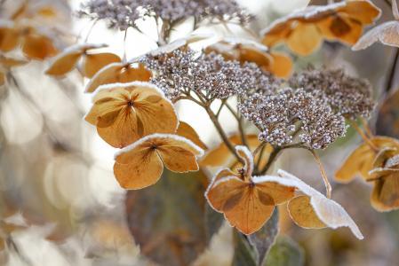 花,绣球花,冬天,霜,宏