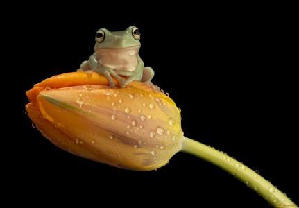 青蛙,郁金香
