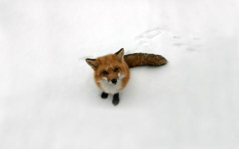 狐狸,看,狐狸,雪,红