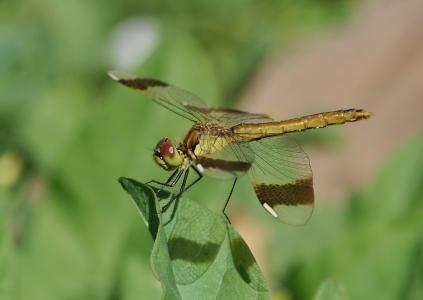 翅膀,夏天,宏,太阳,蜻蜓