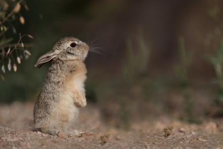 兔子,灰色,野兔,配置文件,背景