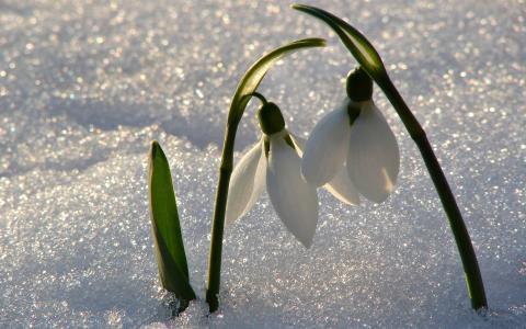 雪花莲,春天,鲜花,雪,情侣,美丽
