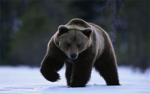 熊,黑色,雪,森林,冰