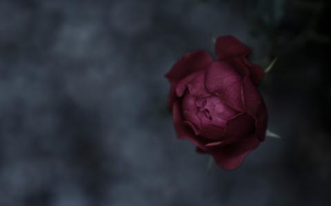 宏,玫瑰,重点,花瓣,背景,干,芽