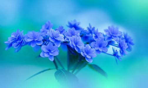 绣球花,鲜花,蓝色,花束,Yayoi.Sakurai