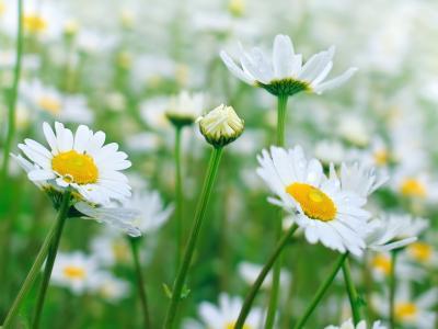 雏菊,自然