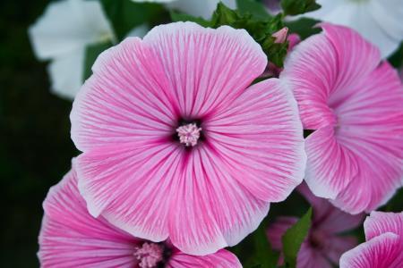 柔情,粉红色,鲜花