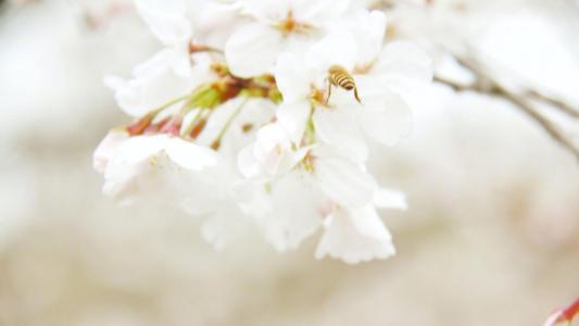 三月唯美樱花