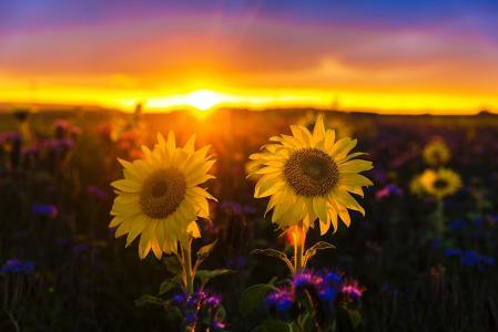 自然,景观,领域,向日葵,日落
